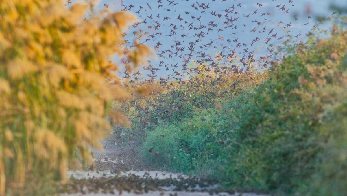 Serçelerin göç yolculuğu böyle görüntülendi