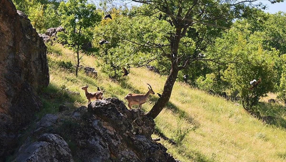 Tunceli'de yaban keçilerinin avlanması için planlanan ihale iptal edildi