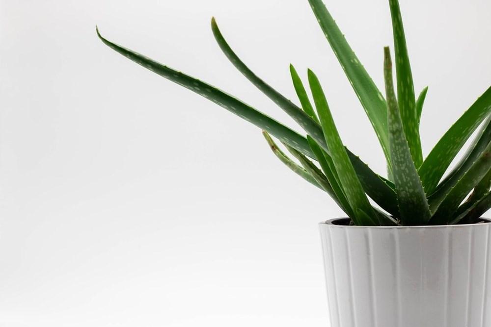Aloe Vera (tıbbi sarısabır) nedir? Aloe Vera bitkisine nasıl bakılır? Faydaları nelerdir? - 9