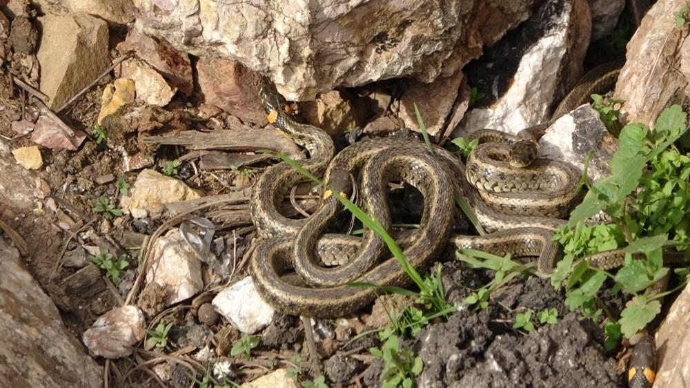 Yüksekova'da sürü halindeki yılanlar Brezilya'nın 'Yılan Adası'nı andırıyor - 2