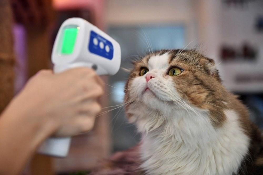 Araştırma: Karantina nedeniyle kediler insanlardan bıktı, sakinleştirici kullanıyorlar - 10