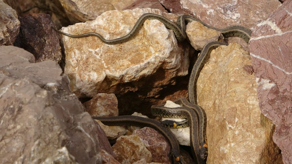 Yüksekova'da sürü halindeki yılanlar Brezilya'nın 'Yılan Adası'nı andırıyor - 10