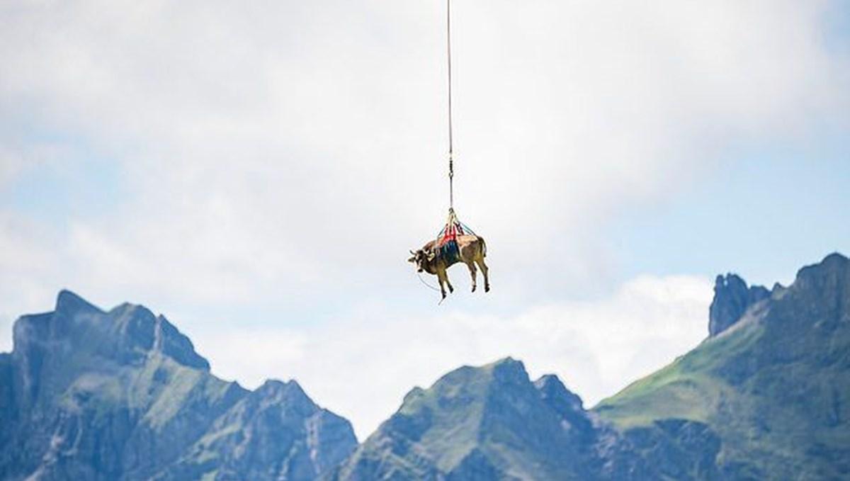 Yaralı inek helikopterle taşındı