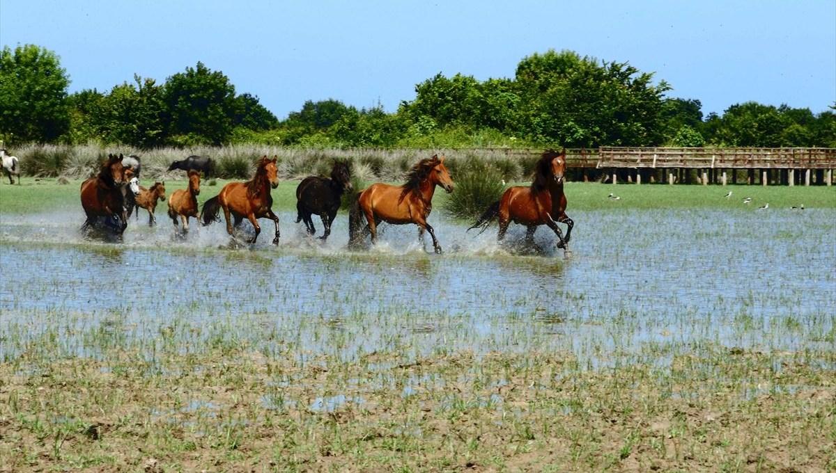 The wild beauty of the Kızılırmak Delta: Yılkı horses