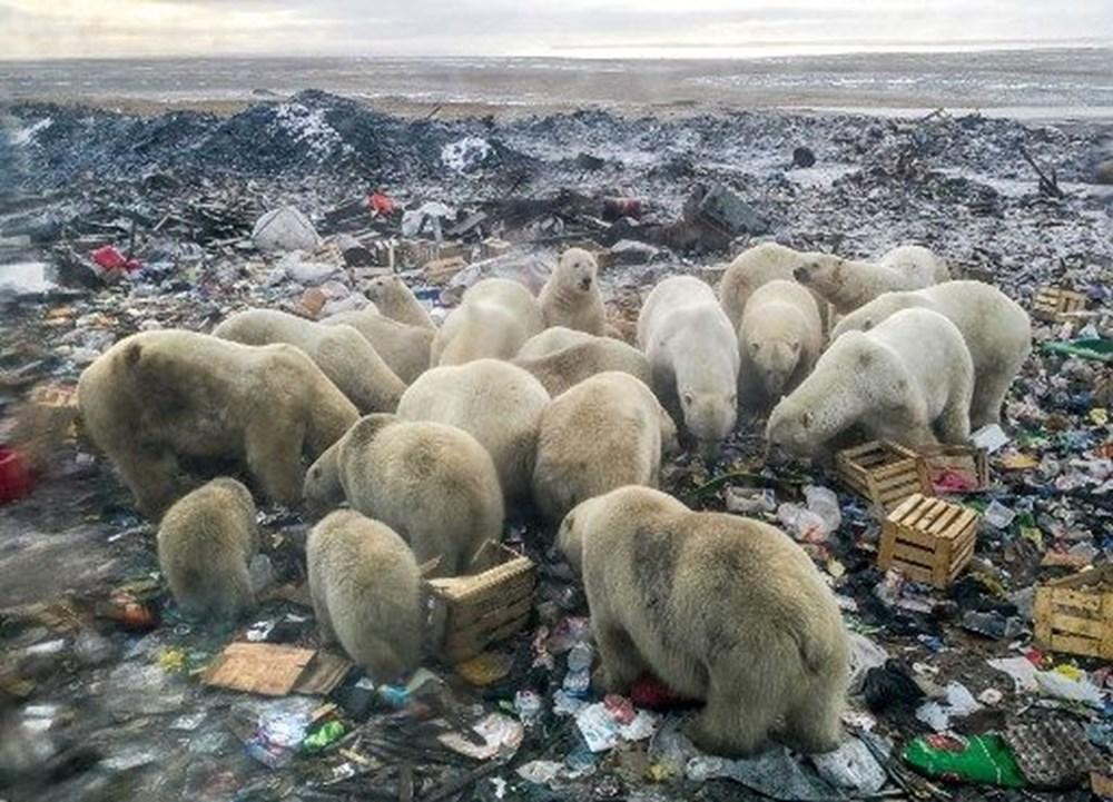 Danimarkalı yetkililerden tepki çeken karar: Kutup ayısını vurabiliriz - 2