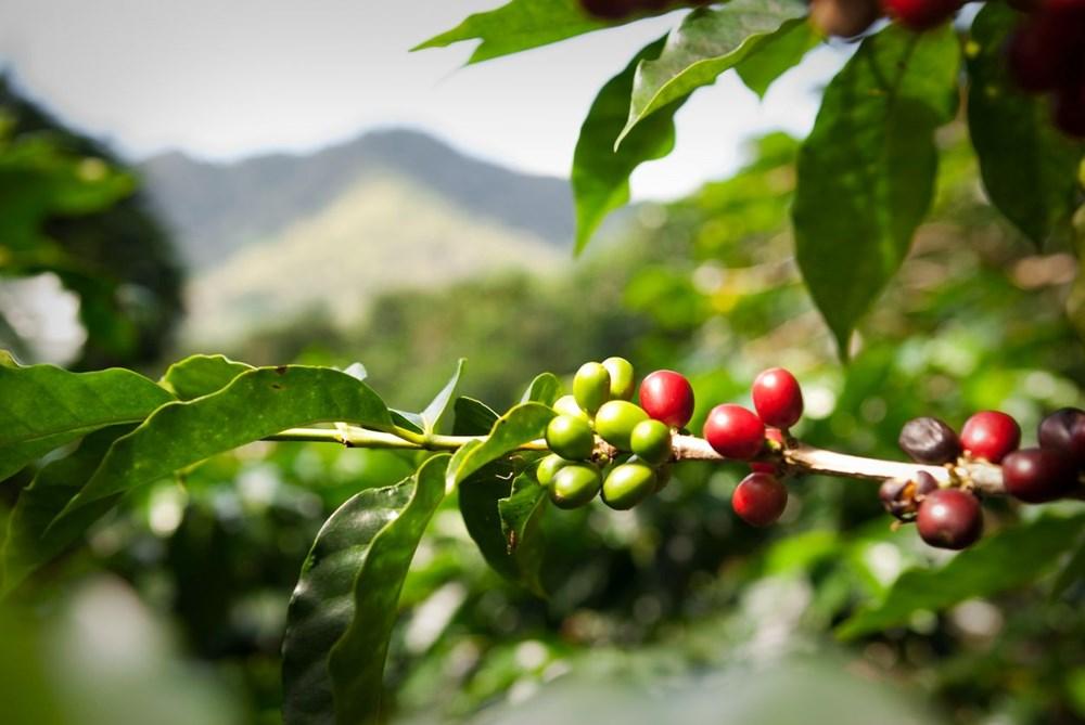 Kahve tiryakilerine iklim değişikliği uyarısı: Yüzde 60'ı tükeniyor - 2