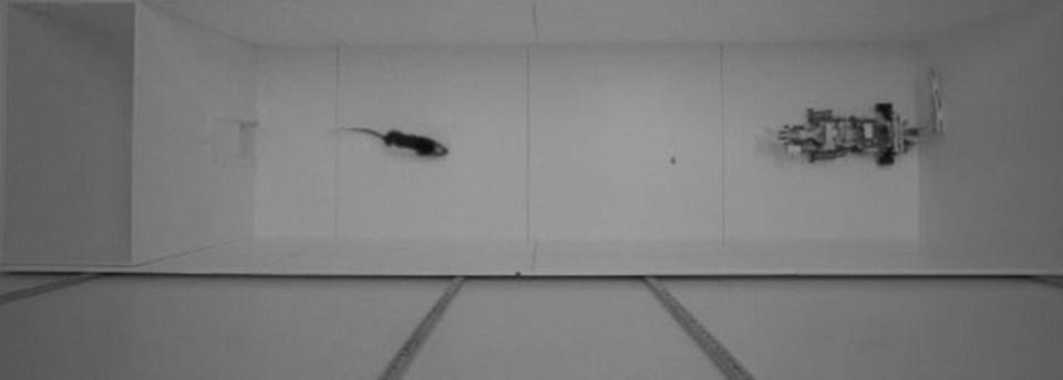 Sıçan, deney sırasında robotla arasında yer alan besine ulaşmaya çalışırken görülüyor.