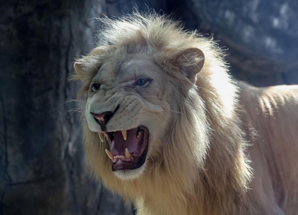 Türkiye'nin yavru aslan ve kaplanları Afrika yolcusu - 3