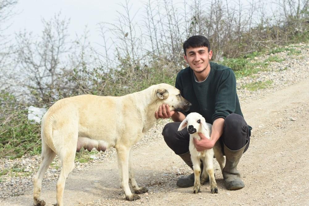 Çoban köpeği kuzunun süt annesi oldu - 4