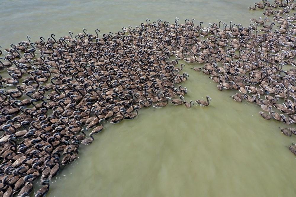 İzmir Kuş Cenneti'nde 18 bini aşkın yavru flamingo kreşte uçma hazırlığı yapıyor - 24