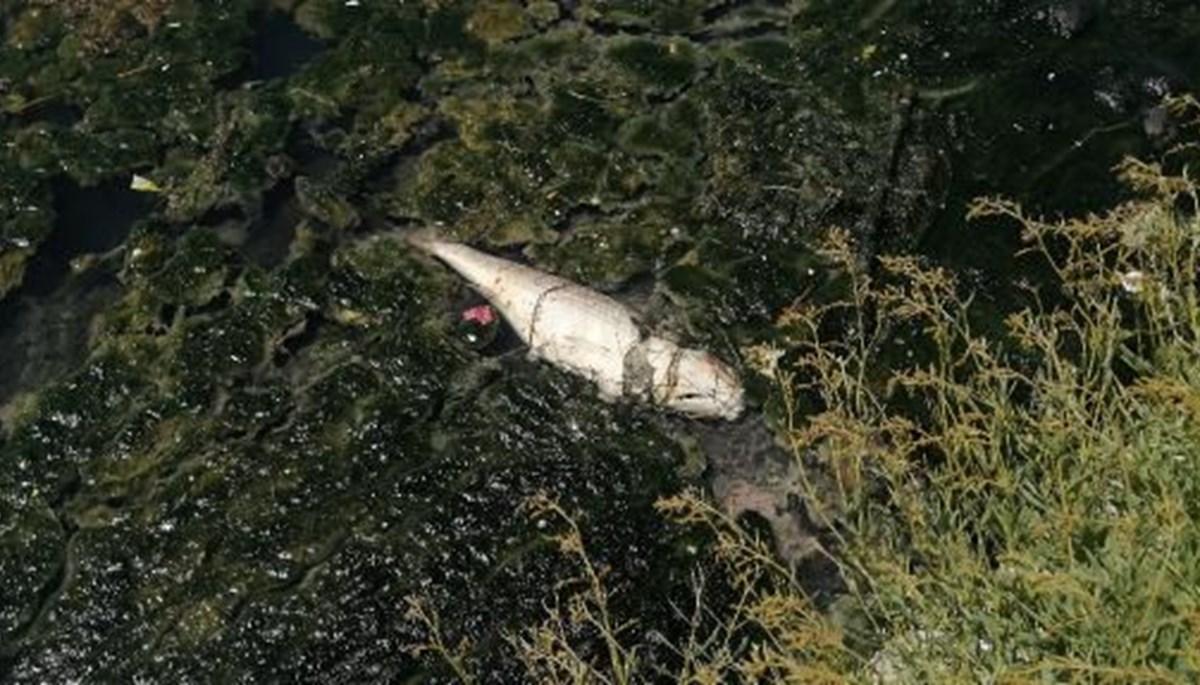 Büyükçekmece Gölü'nün rengi değişti, ölü balıklar kıyıya vurdu