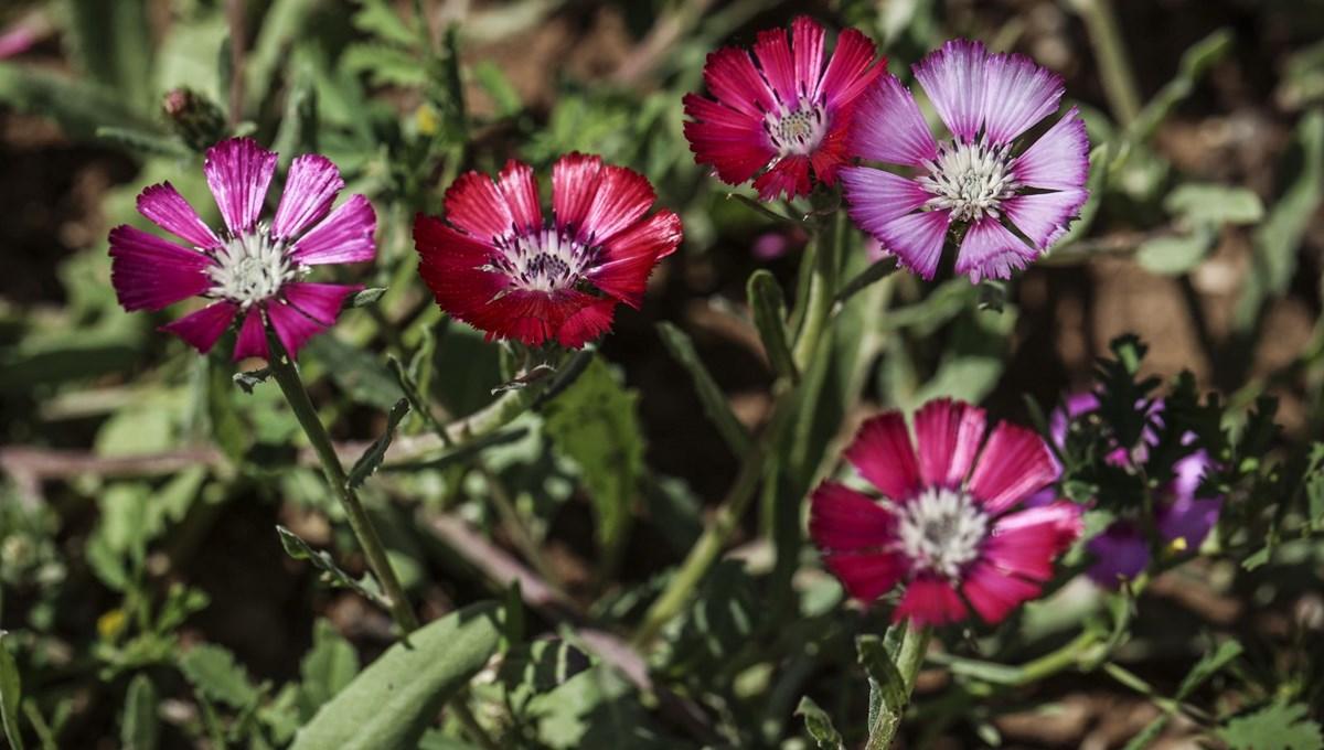 Dünya'da sadece Gölbaşı'nda yetişen 'Sevgi Çiçeği'