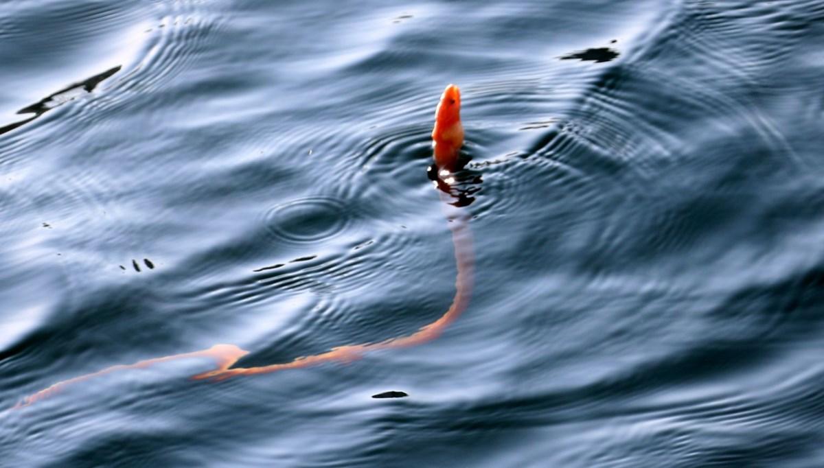 'Yılan kurdu balığı' Çanakkale Boğazı'nda görüntülendi