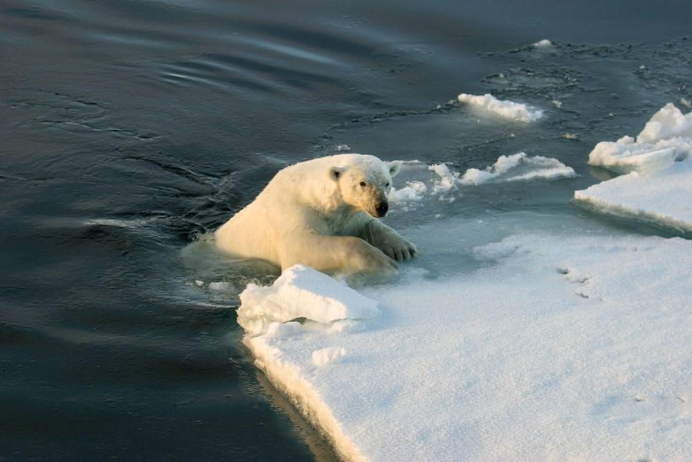 Danimarkalı yetkililerden tepki çeken karar: Kutup ayısını vurabiliriz - 8
