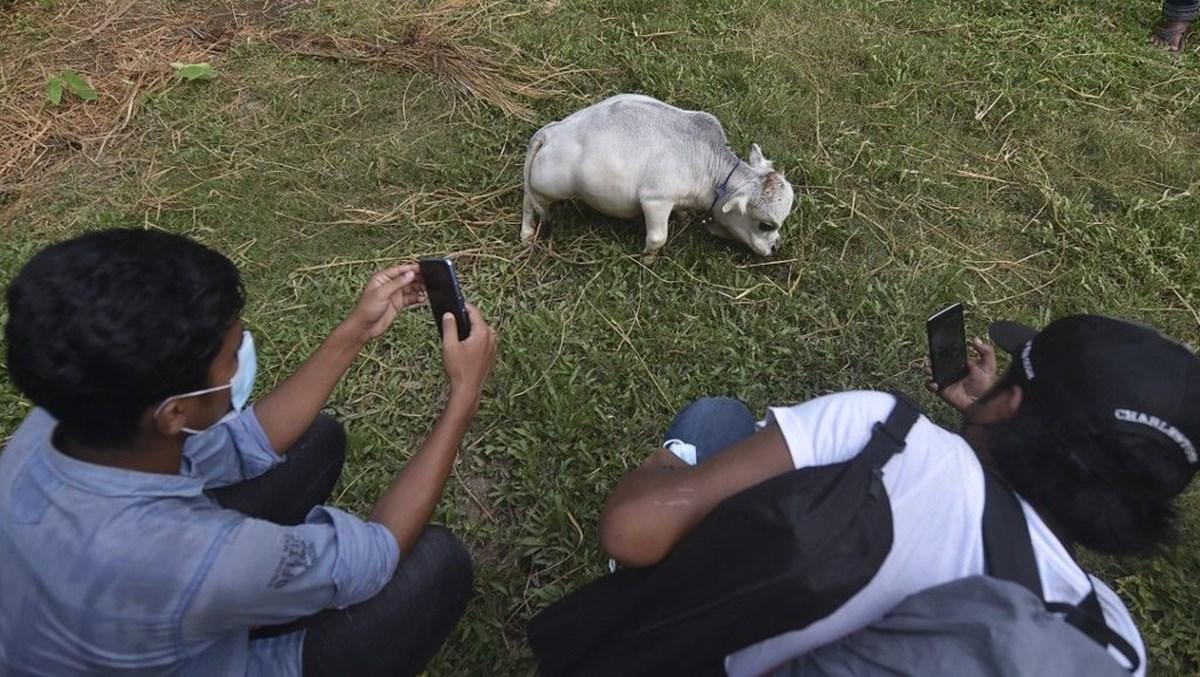 Binlerce kişi cüce ineği görmek için akın etti: Halk sağlığını tehdit ediyor