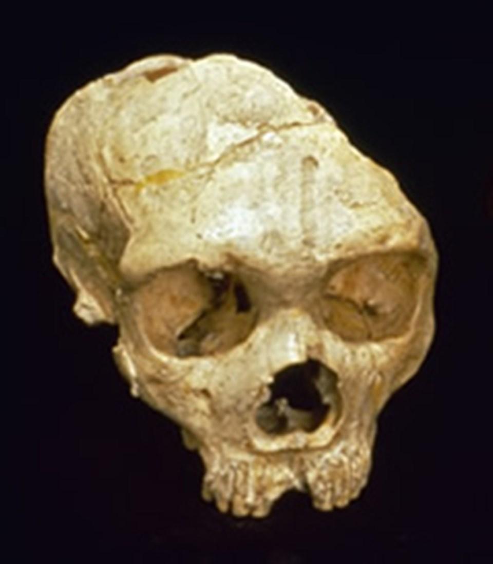 Neandertal kafatası.