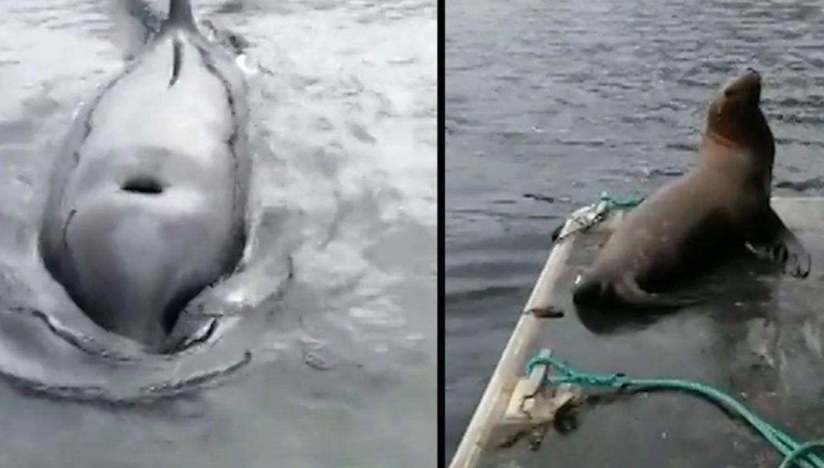 Katil balinalardan kaçan deniz aslanı tekneye sığındı