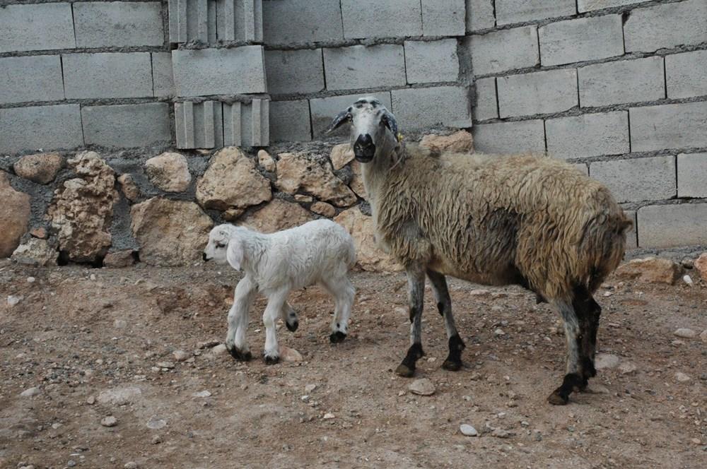 Diyarbakır'da 6 ayaklı doğan kuzu görenleri şaşırtıyor - 11