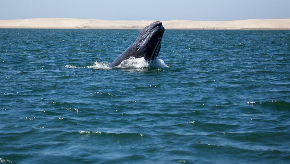 Rekor: Gri bir balinanın dünyanın yarısını yüzdüğü tespit edildi