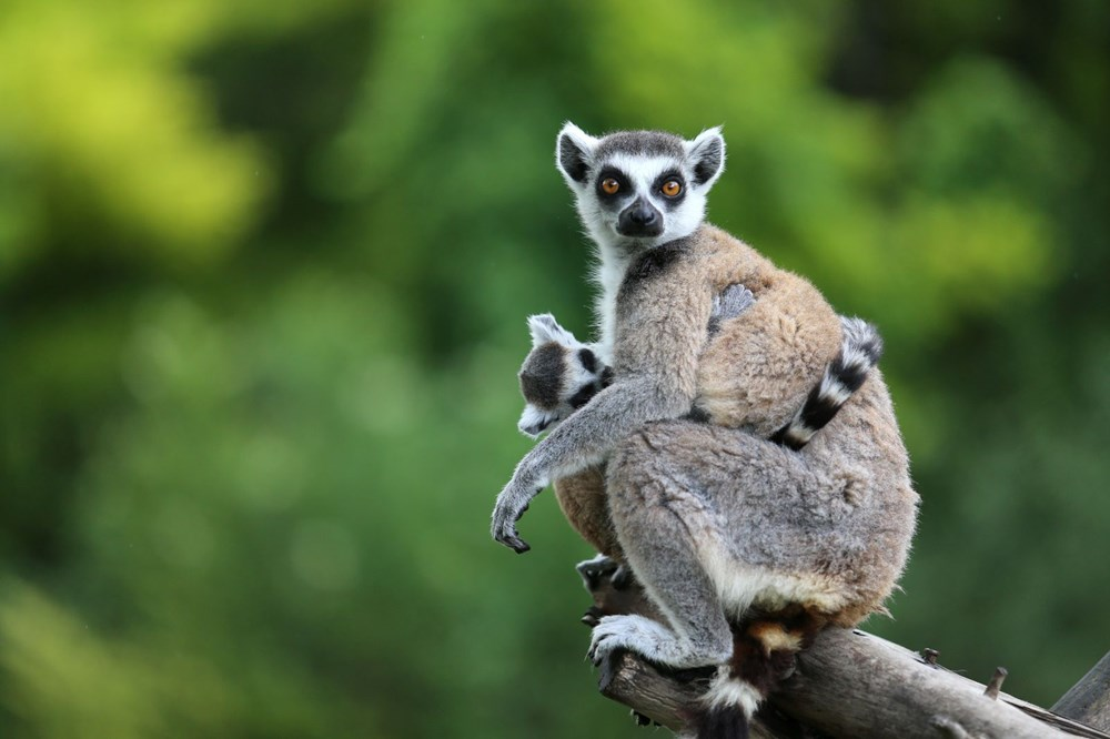 Bursa'daki lemur ailesi büyüyor - 6