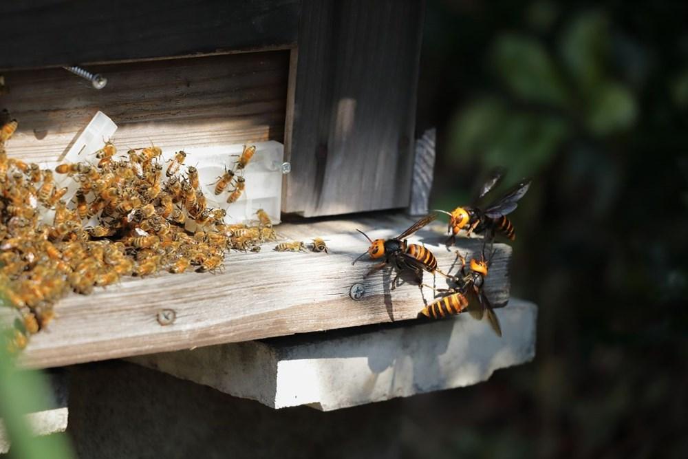 Kabus bitmedi: Katil eşek arıları ABD'ye geri döndü - 3