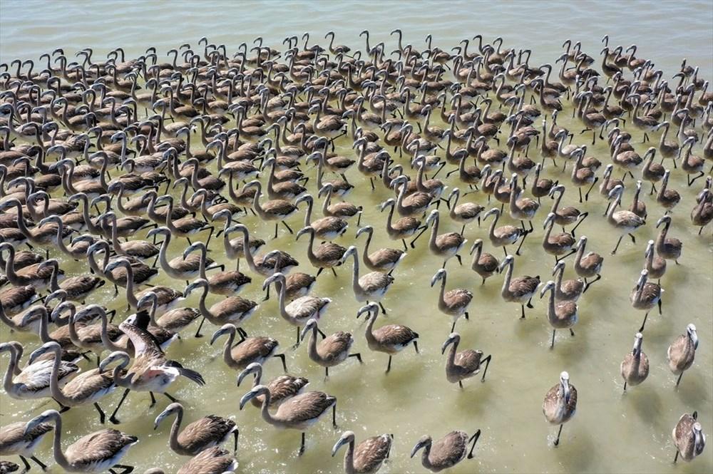 İzmir Kuş Cenneti'nde 18 bini aşkın yavru flamingo kreşte uçma hazırlığı yapıyor - 27