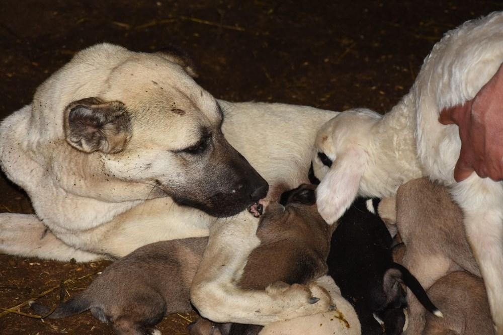 Çoban köpeği kuzunun süt annesi oldu - 3