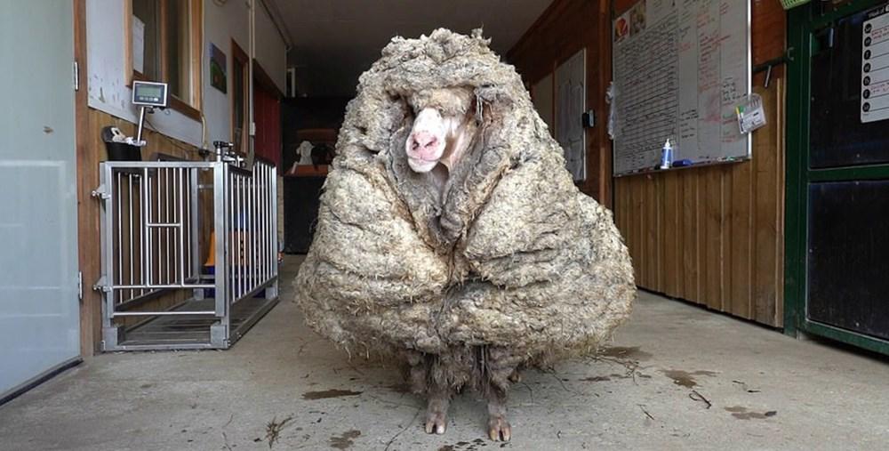 Yıllardır vahşi doğada yaşayan koyun Baarack, 35 kiloluk yükünden kurtuldu - 1