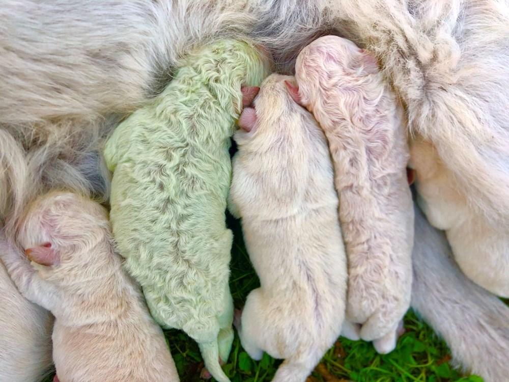 İtalya'da yeşil tüylü bir köpek dünyaya geldi - 6