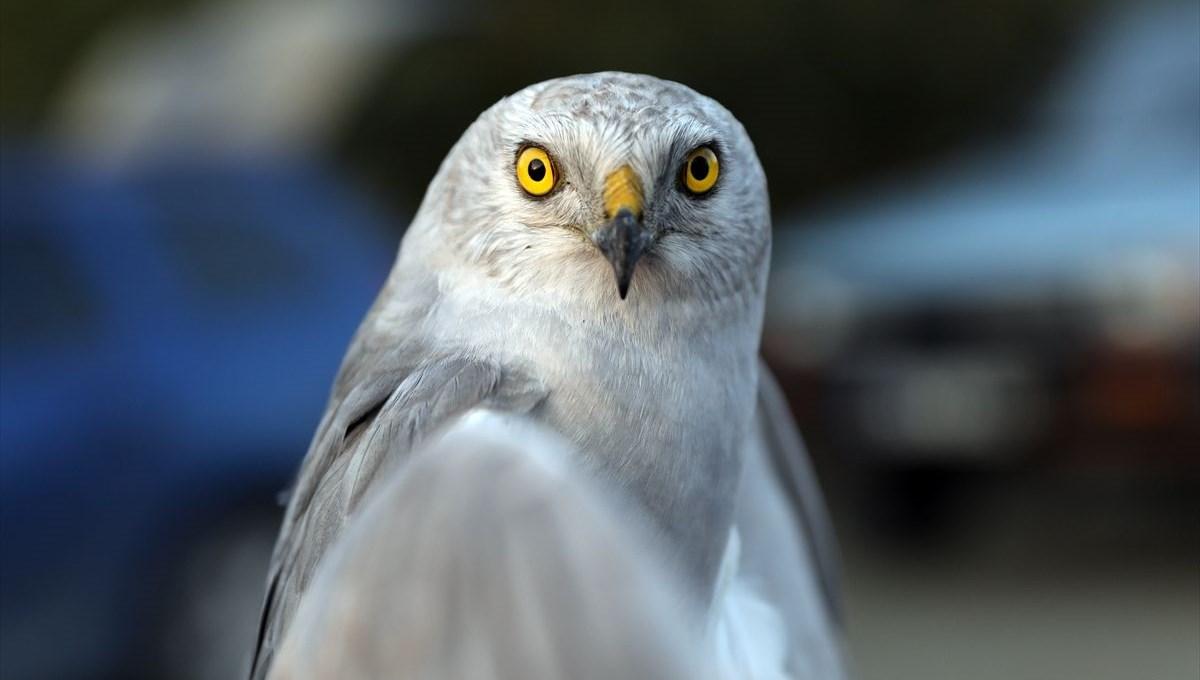 Kırmızı listedeki 'bozkır delicesi' Türk kuş bilimcilerce uydudan takip ediliyor