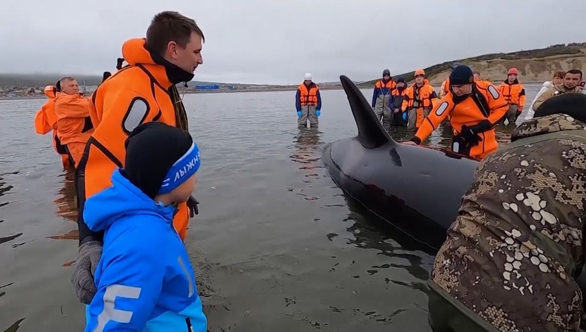 Kıyıya vuran katil balina güçlükle kurtarıldı