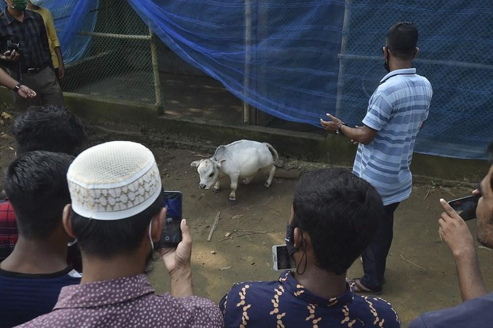 Binlerce kişi cüce ineği görmek için akın etti: Halk sağlığını tehdit ediyor - 9
