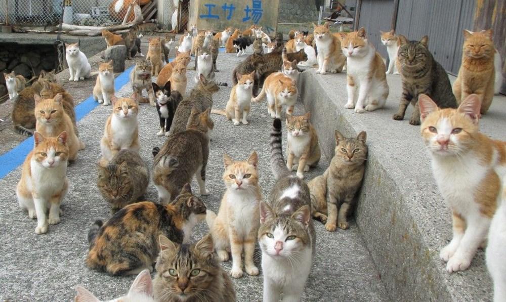 Japonya'daki kedi adası: Aoshima - 14
