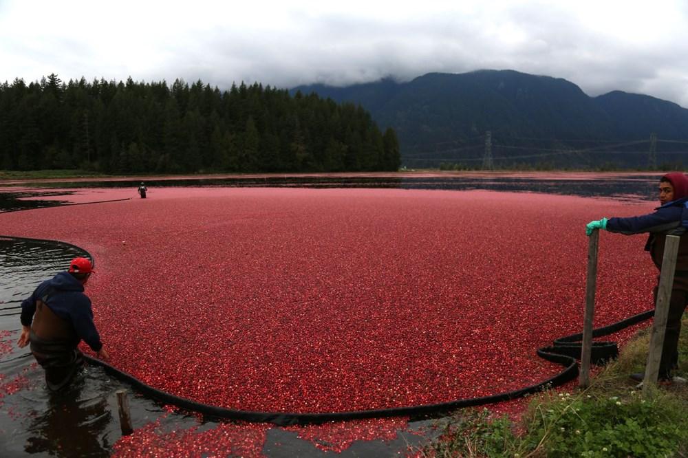 Kanada'da kızılcık hasadı - 23