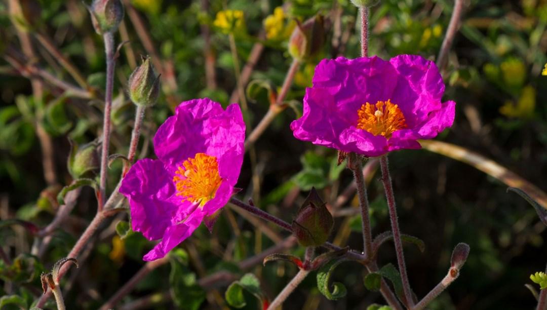 Cistus Creticus (Tüylü Laden) bitkisinin faydaları nelerdir?