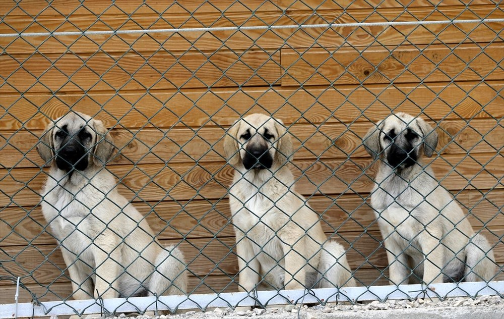 Sivas Kangal köpeklerinin genetiği çiple korunuyor - 14