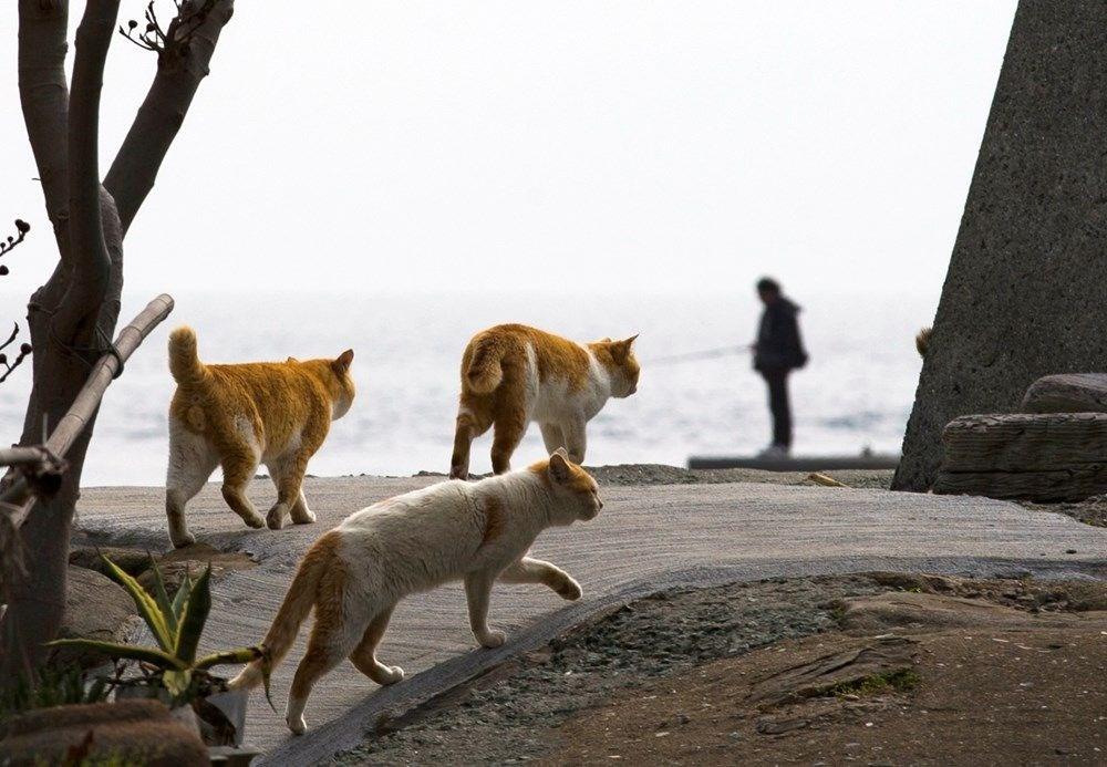 Japonya'daki kedi adası: Aoshima - 13