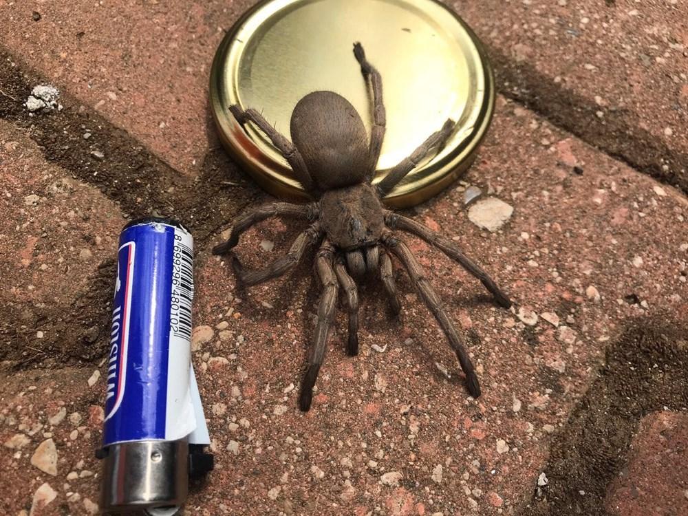 Osmaniye'de dev örümcek paniği - 2
