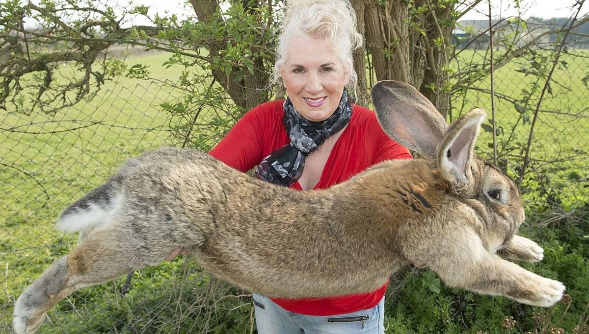 Eski Playboy modelinin sahip olduğu dünyanın en büyük tavşanı 'Darius' kaçırıldı: Bulana 11 bin lira ödül
