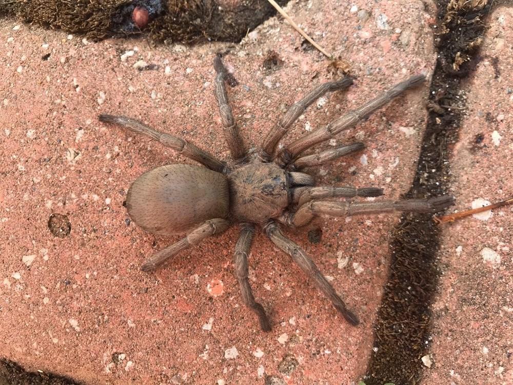 Osmaniye'de dev örümcek paniği - 3