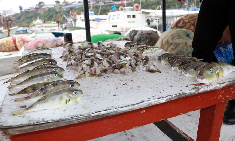 Balıkçılar balon balığının diğer türlerine de kuyruk parası istiyor - 3