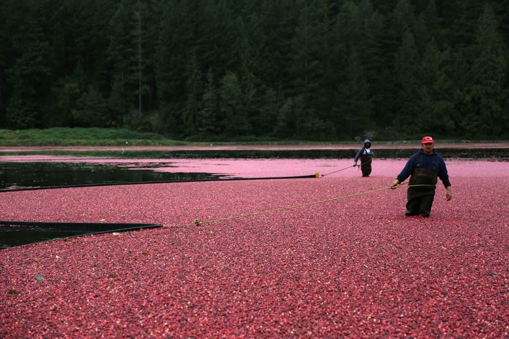 Kanada'da kızılcık hasadı - 19