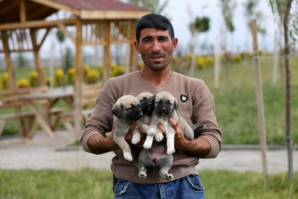 Sivas Kangal köpeklerinin genetiği çiple korunuyor - 11