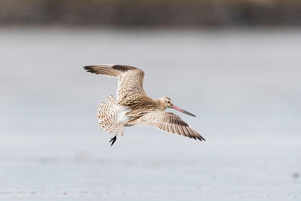 11 gün boyunca aralıksız olarak 12 bin kilometre uçan kuş dünya rekoru kırdı - 1