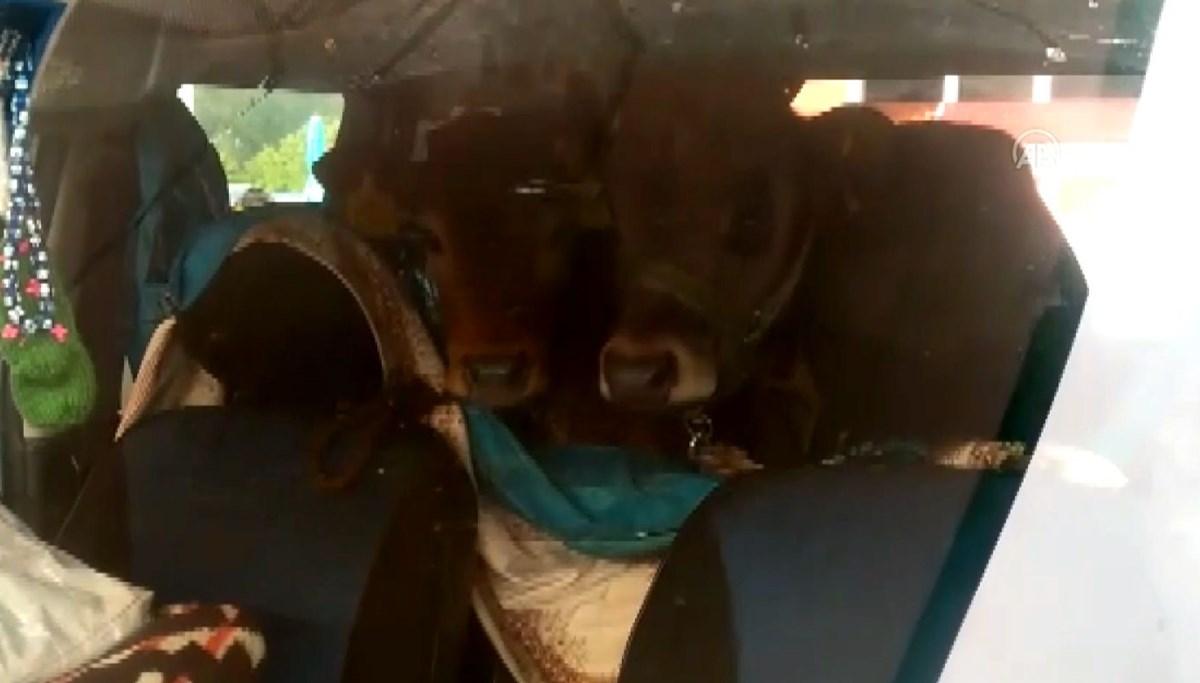 Rizeli yaylacı iki danayı otomobilinin arka koltuğunda yaylaya çıkardı