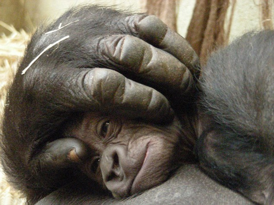 Beş haftalık bebek annesinin dev koruyucu eli altında