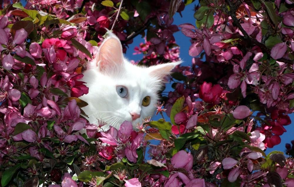 Helsinki Üniversitesi'nin 'Van kedisi' araştırmasına tepki: Bu unvanı asla kabul etmiyoruz - 5