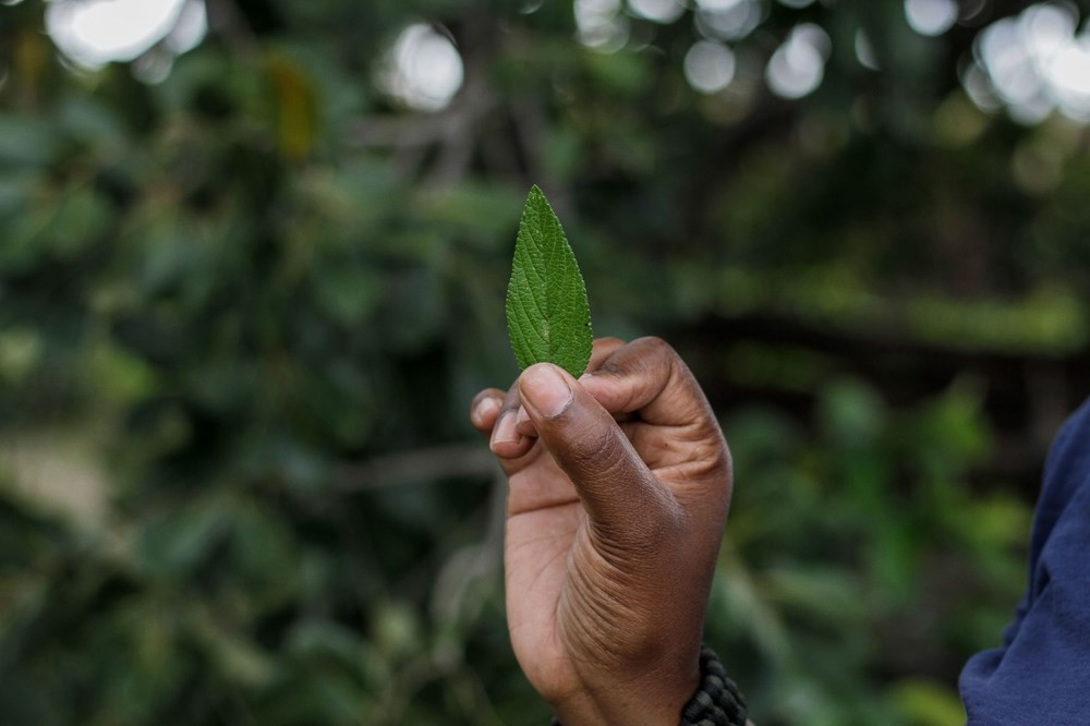 The plant that the African country hopes for, Zumbani: We would be dead if we didn't use it - 3
