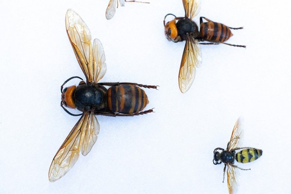 """ABD'de """"katil eşek arısı"""" endişesi sürüyor: Uzun ve zehirli bir iğneye sahip - 5"""