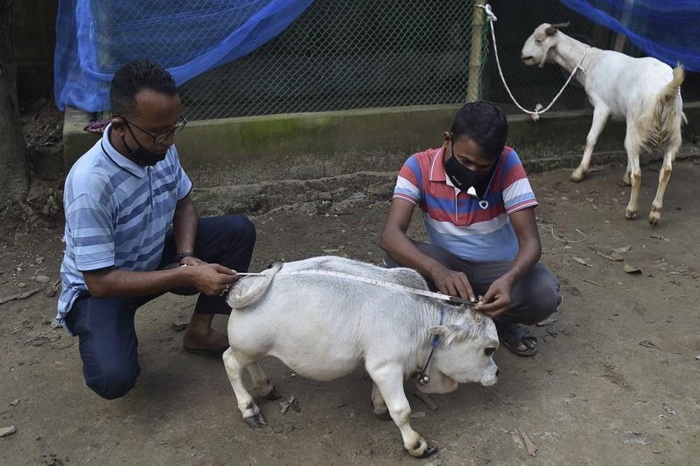 Binlerce kişi cüce ineği görmek için akın etti: Halk sağlığını tehdit ediyor - 7